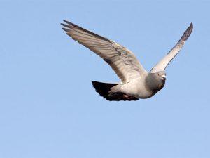 Pigeon flying against blue sky